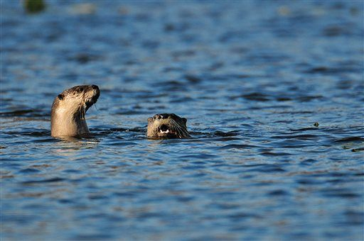 Indiana's 1st otter trapping underway since species' return