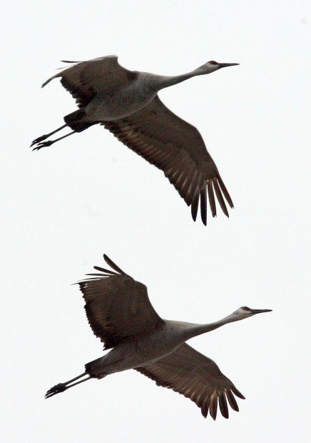 Sandhill cranes return for spring migration