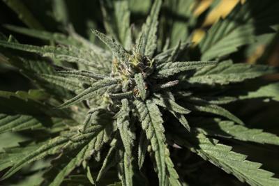 Marijuana Michigan