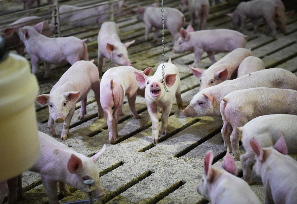 Iowa pigs