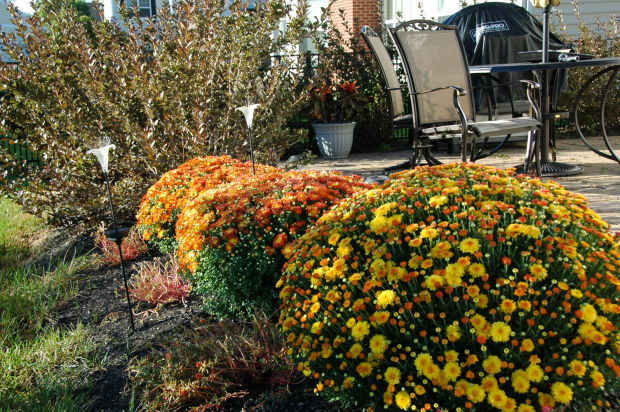 Mum's the Word: Achieve a stunning garden with rich colors this fall