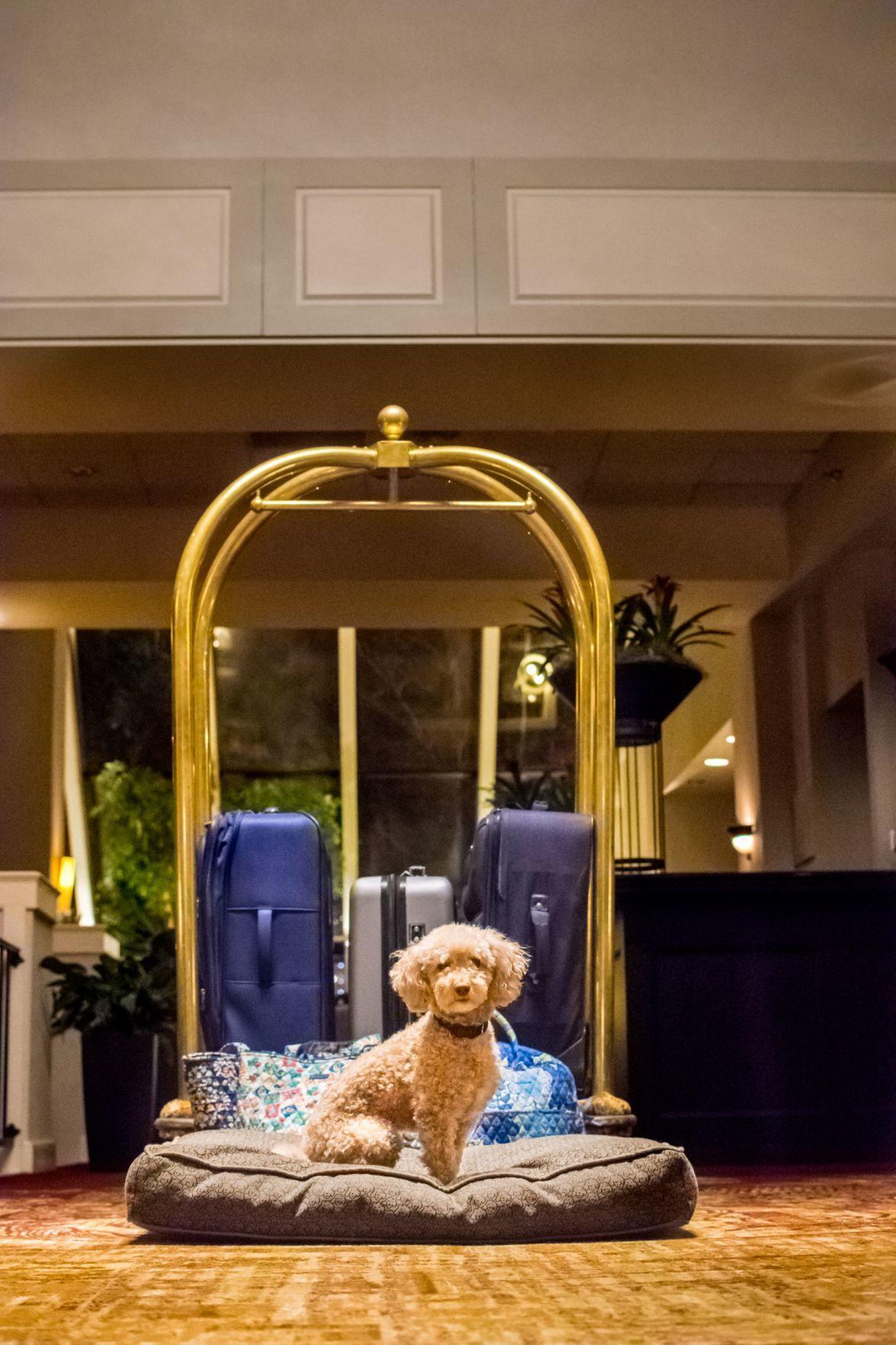 Dog at  Hilton on vacay