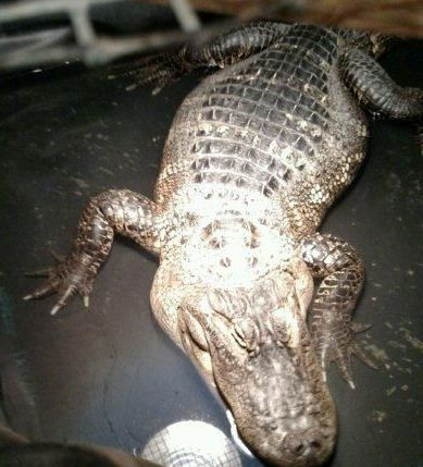 200-pound alligator found in Lansing basement, official says