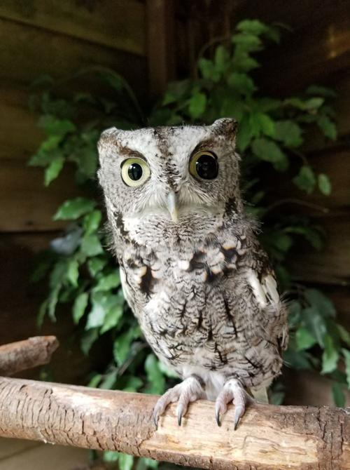 Wildlife Center S First Bird Ambassador Drew The Owl Dies Fostered Several Baby Owls In Lifetime Latest Headlines Nwitimes Com