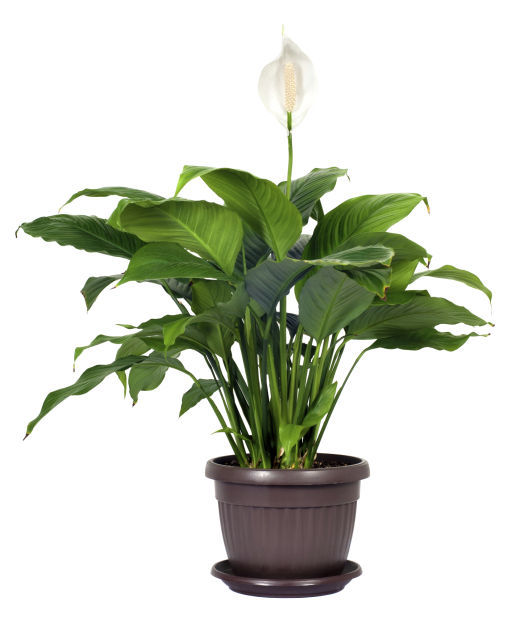 Breathe easy: Houseplants act as natural air purifiers and protect on lots of hostas, lots of orchids, lots of wildflowers, lots of nature, lots of ferns, lots of african violets, lots of cacti, lots of wildlife, lots of mulch, lots of fertilizer, lots of bouquets, lots of design, lots of lawns, lots of bushes, lots of tea bags, lots of hibiscus, lots of home, lots of bamboo, lots of lilies, lots of greenhouses,