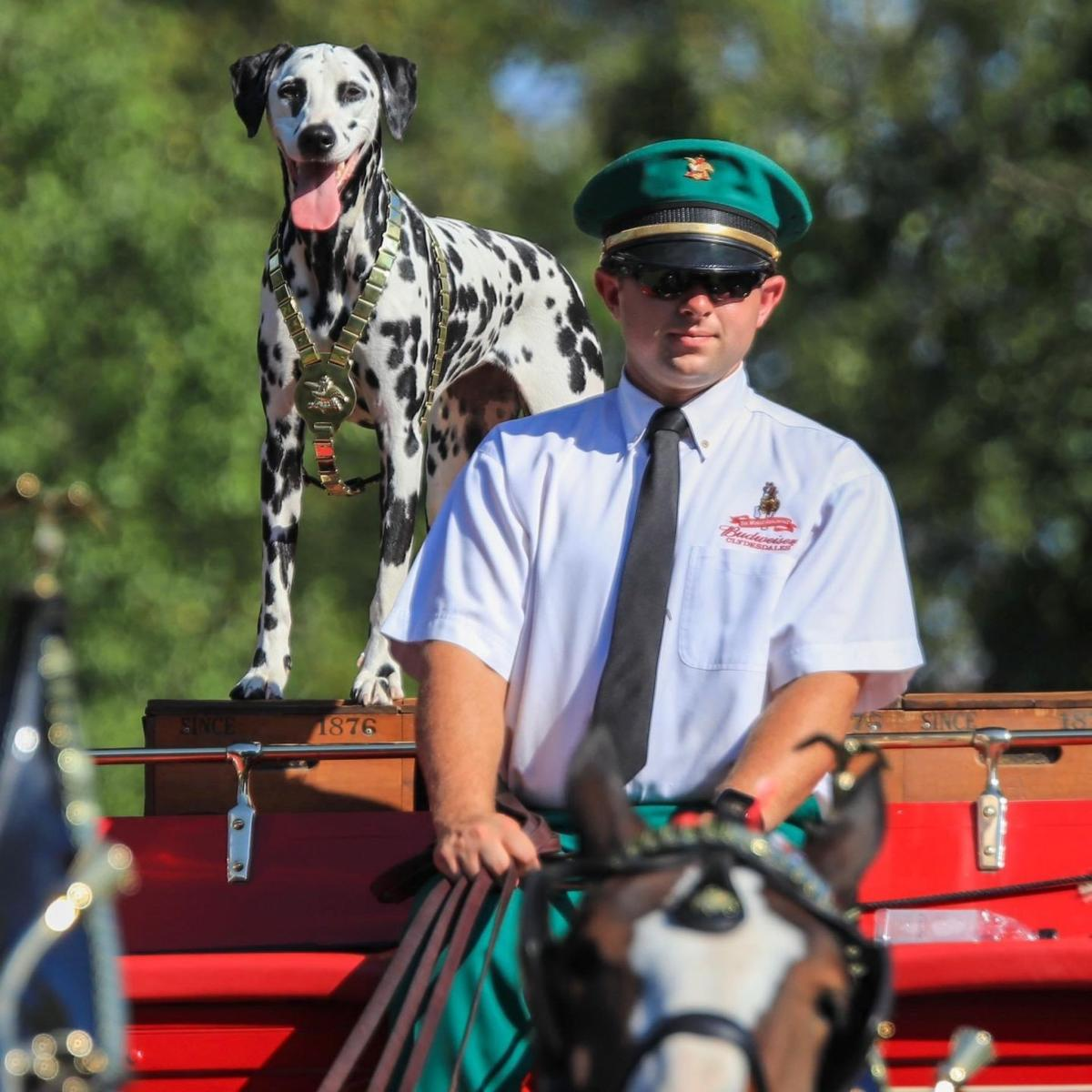 Holiday parade a homecoming for Budweiser Clydesdales