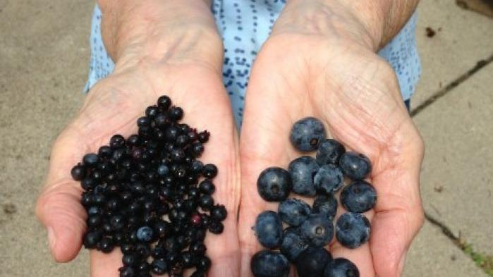 Wild Blueberries Aka Huckleberries Compared To Cultivated