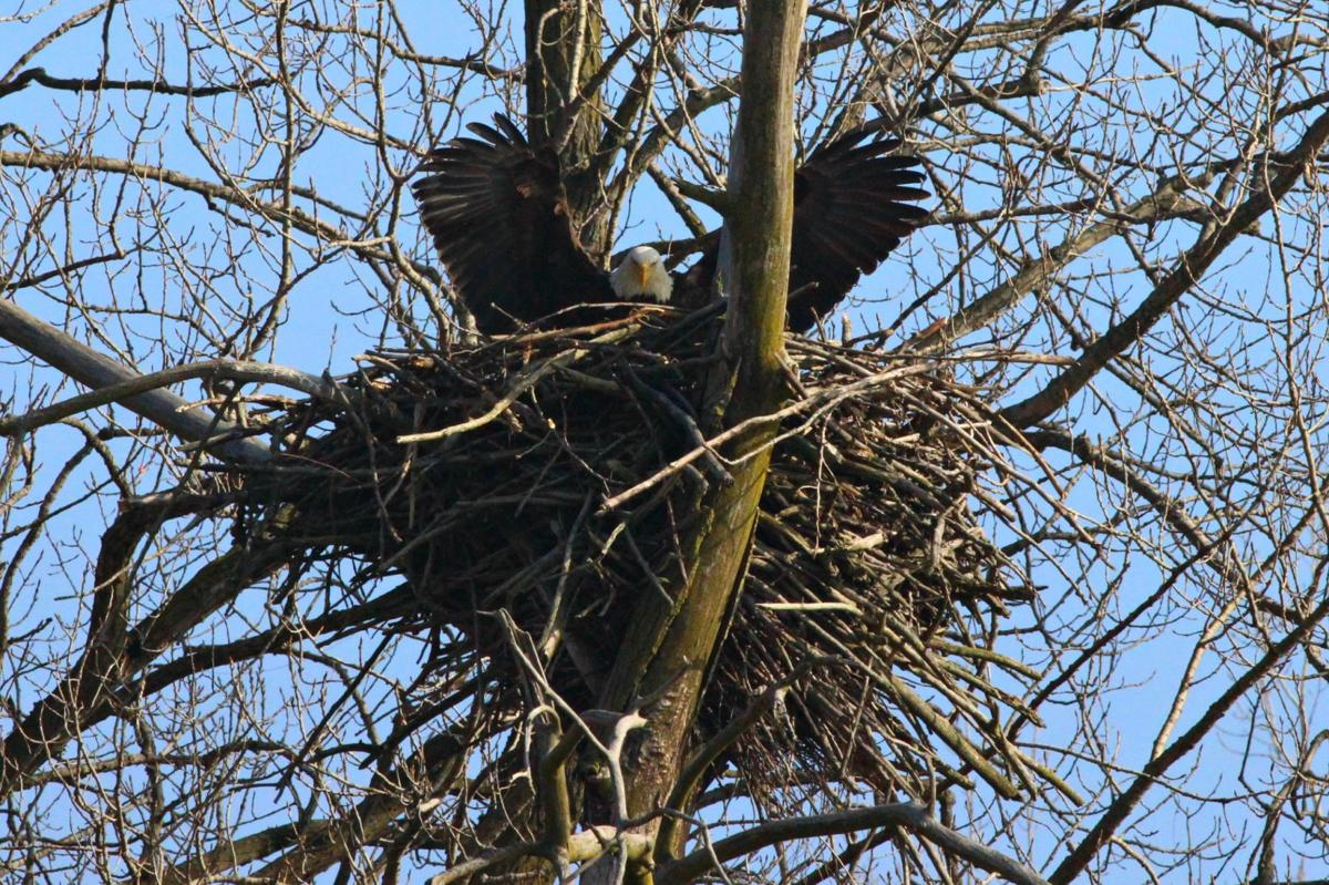 Bald eagle nest blown down after eight years in Black Oak