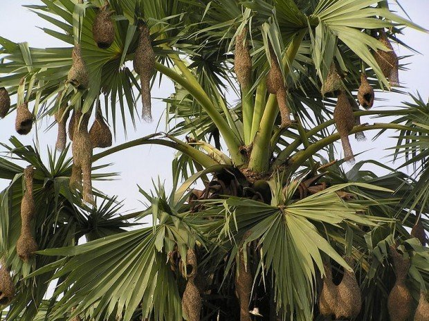 Herbal Healer: What is palmyra palm?