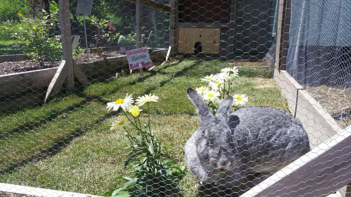 taltree mourns loss of big beloved rabbit porter county news