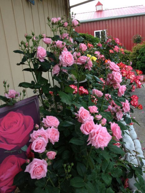 Stop And Grow The Roses Local Garden Groups Offer Workshops On