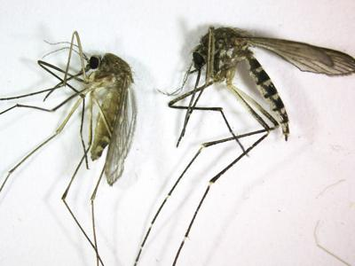 Mosquito Outbreak