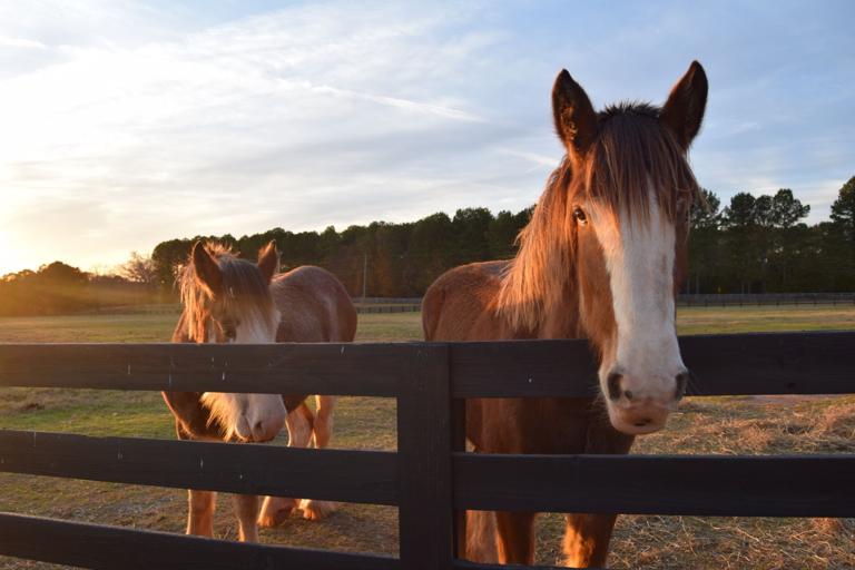 Clydesdales roam on Bishop farm