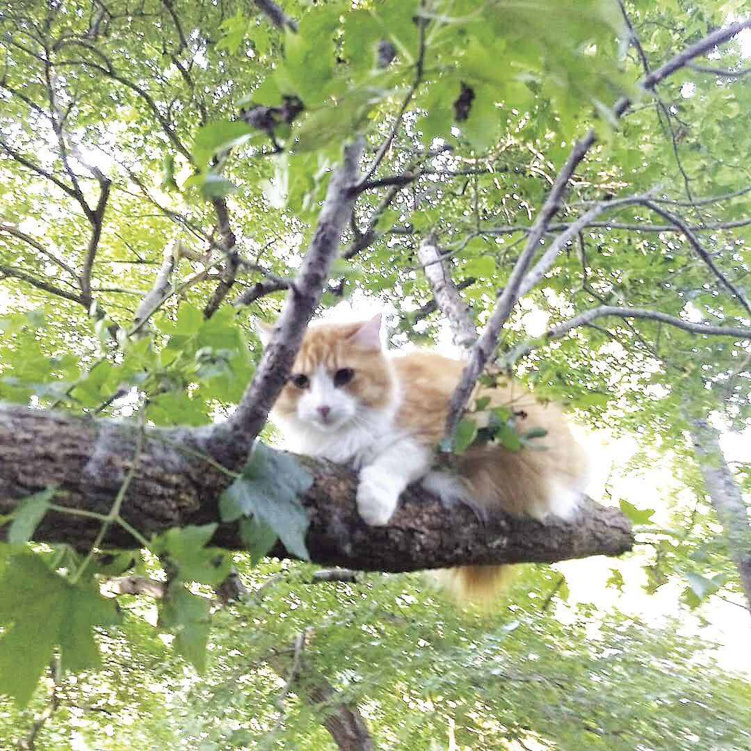 Cats in trees 1.tif
