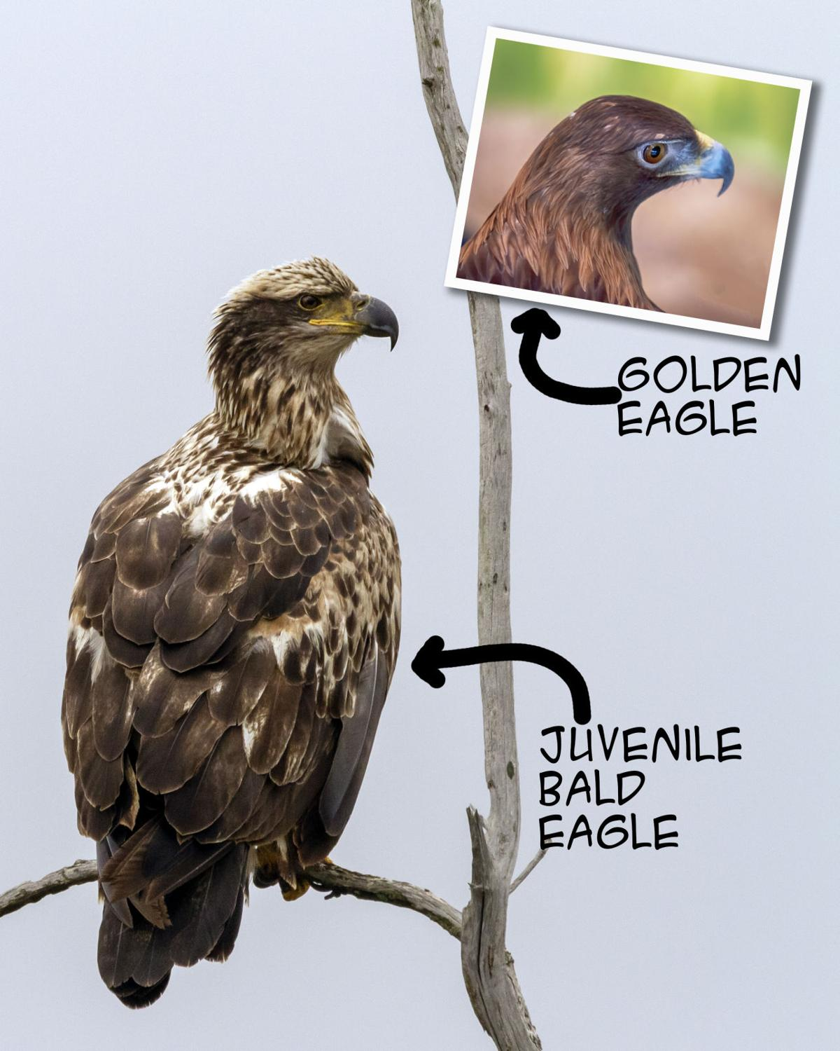 Telling The Difference Between Juvenile Bald Eagles And Goldens News Oleantimesherald Com