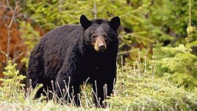 Pennsylvania bear numbers down