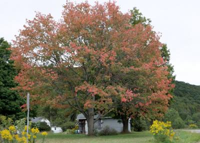 Allegany maple tree showing signs of fall