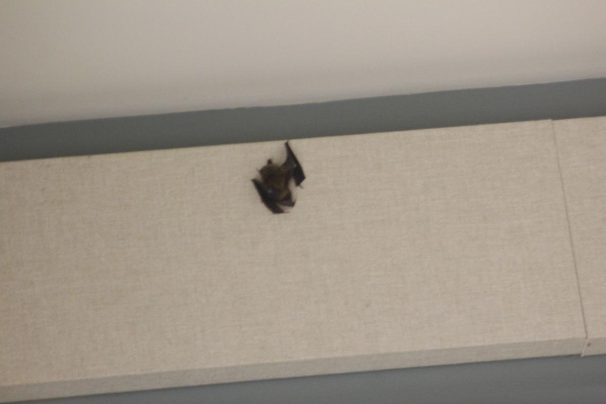 Bat Attends Olean School Board Meeting News Oleantimesheraldcom