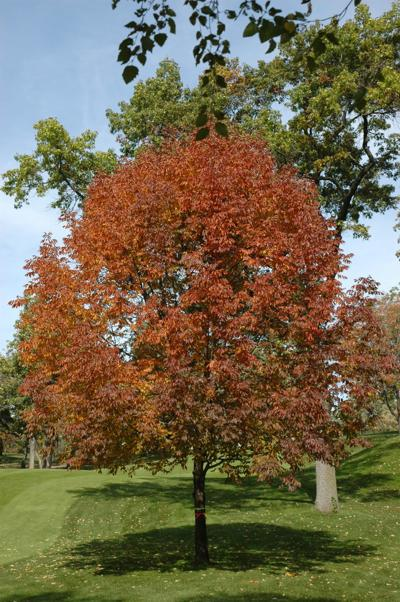 ash tree fraxinus americana