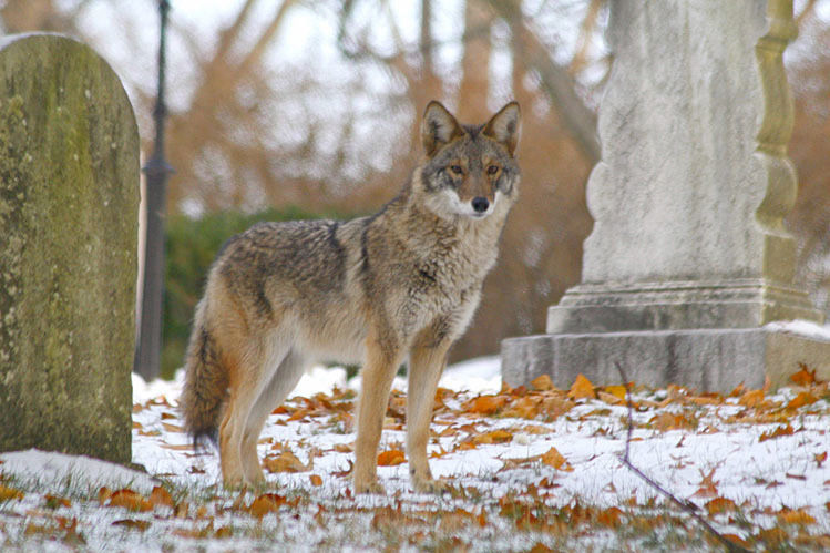 state union scientists eastern coyotes getting more 39 wolflike 39 news. Black Bedroom Furniture Sets. Home Design Ideas