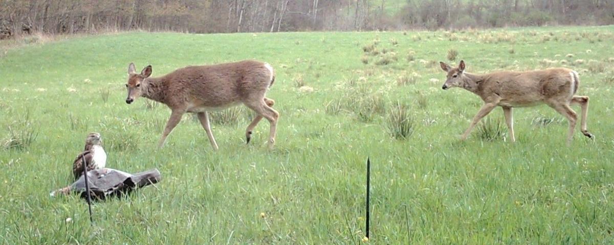 Deer take interest