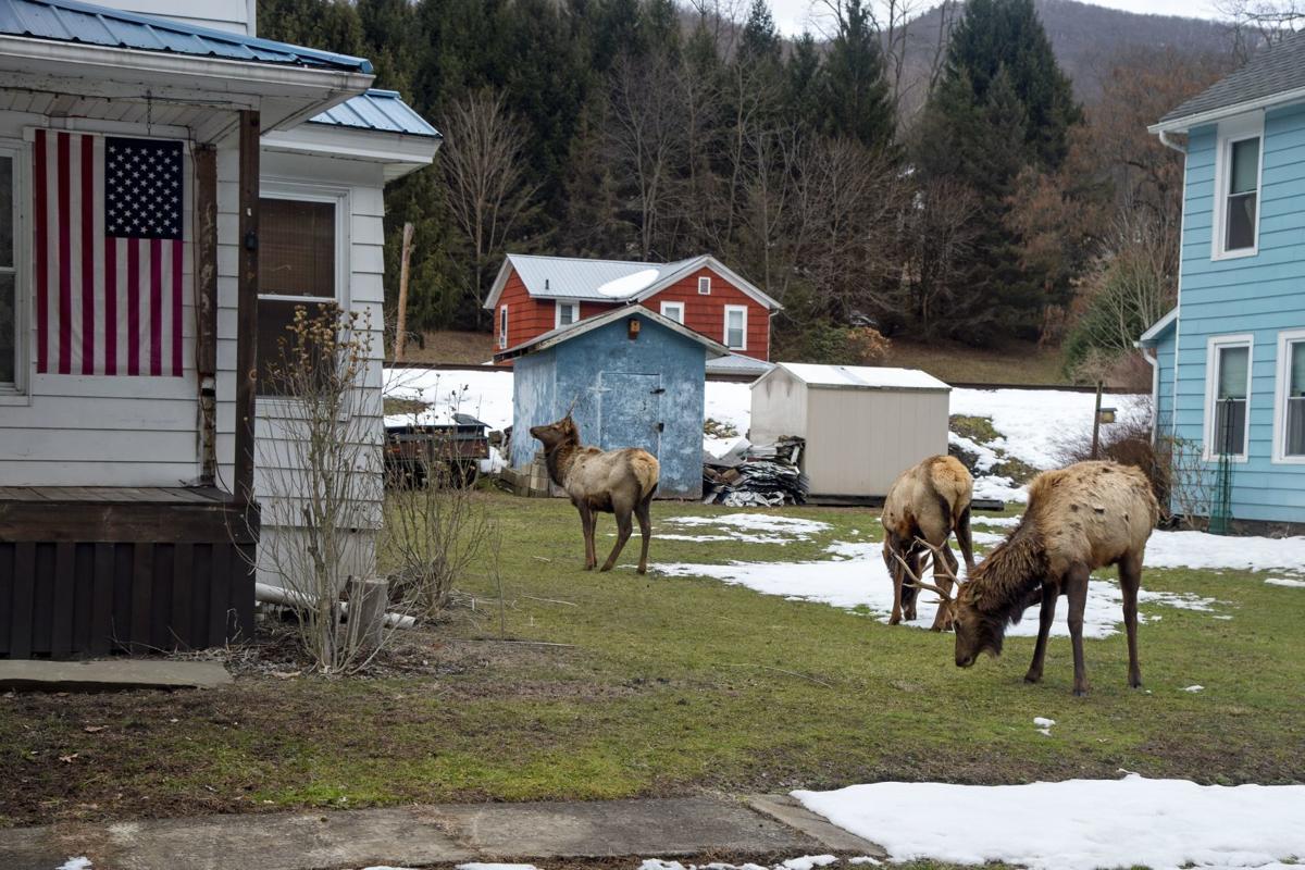 Elk in Driftwood, Pa.