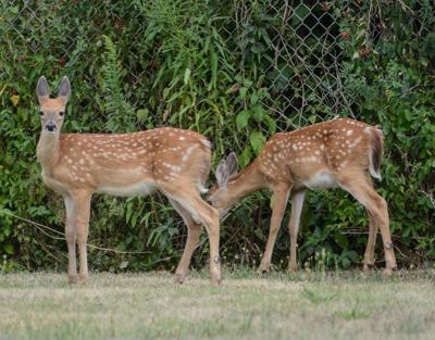 Deer in Olean