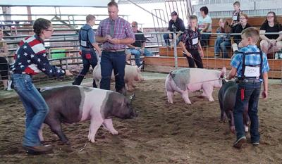 Swine show at Allegany County Fair