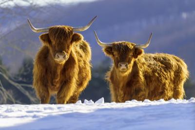 Highland cattle in Allegany