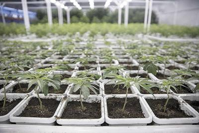 Billions at stake when states move to legalize cannabis