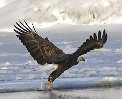 Bald eagles' recovery leads to more recent area sightings