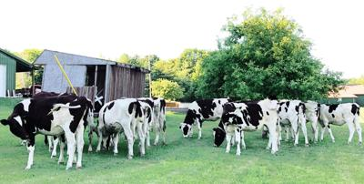 Cows in Mexico, N.Y.