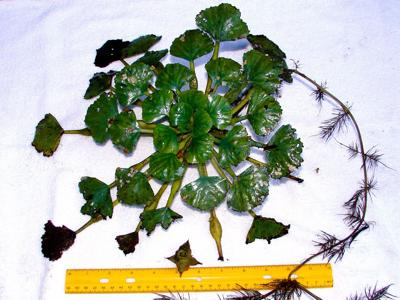 Water chestnuts, the invasive water plant on the Oswego River