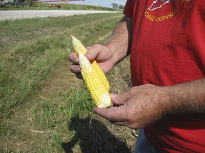 Examining corn