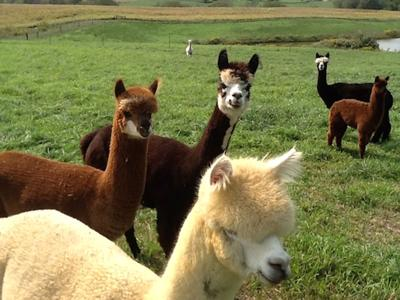 Alpaca can be soft and gentle friends