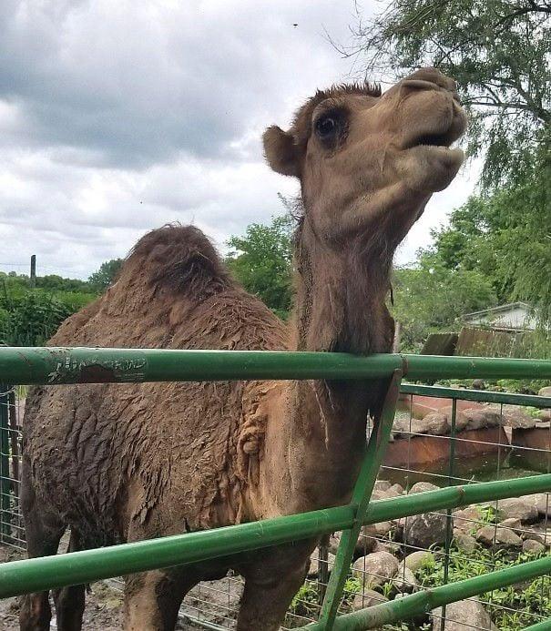 Zoo-Camel2.jpg