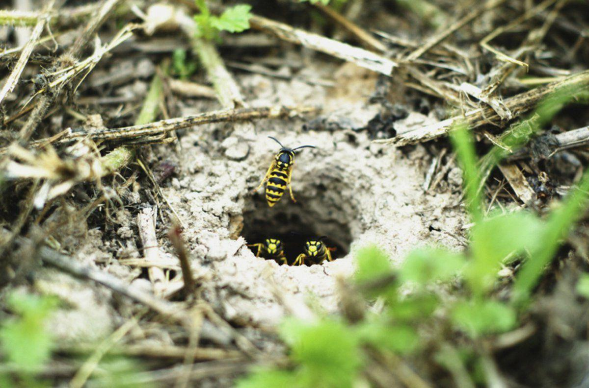 The stingers It's social (so to speak) wasps that are best avoided