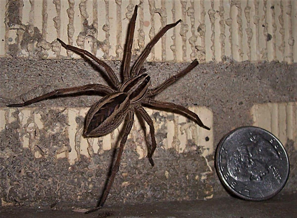 Wolf Spiders These Speedy Hunters Hardly Warrant Our Loathing For Them Local Sports Paducahsun Com