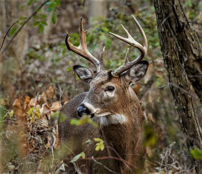 Buck portrait in fall cover