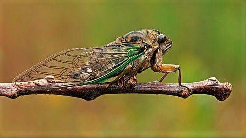 Cicada on twig