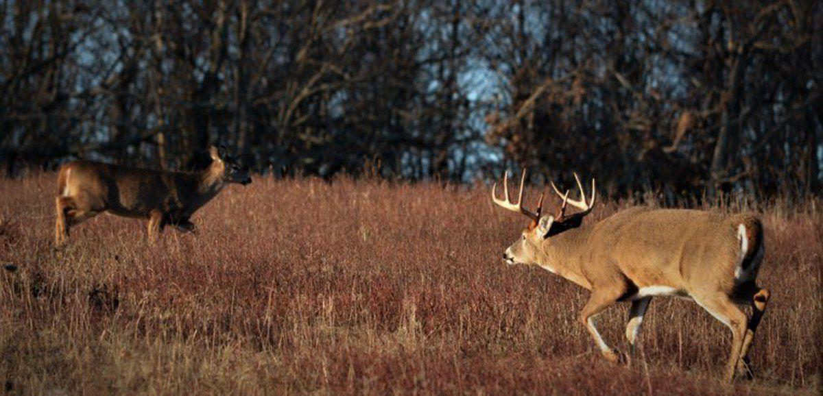 The rut That deer chaos is all about perpetuating the species