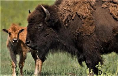 Buffalo close-up, calf