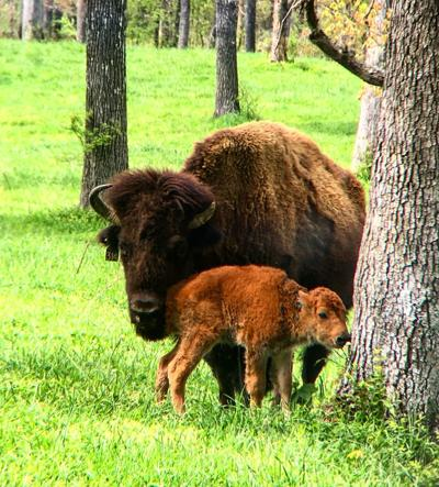 Bison cow, calf