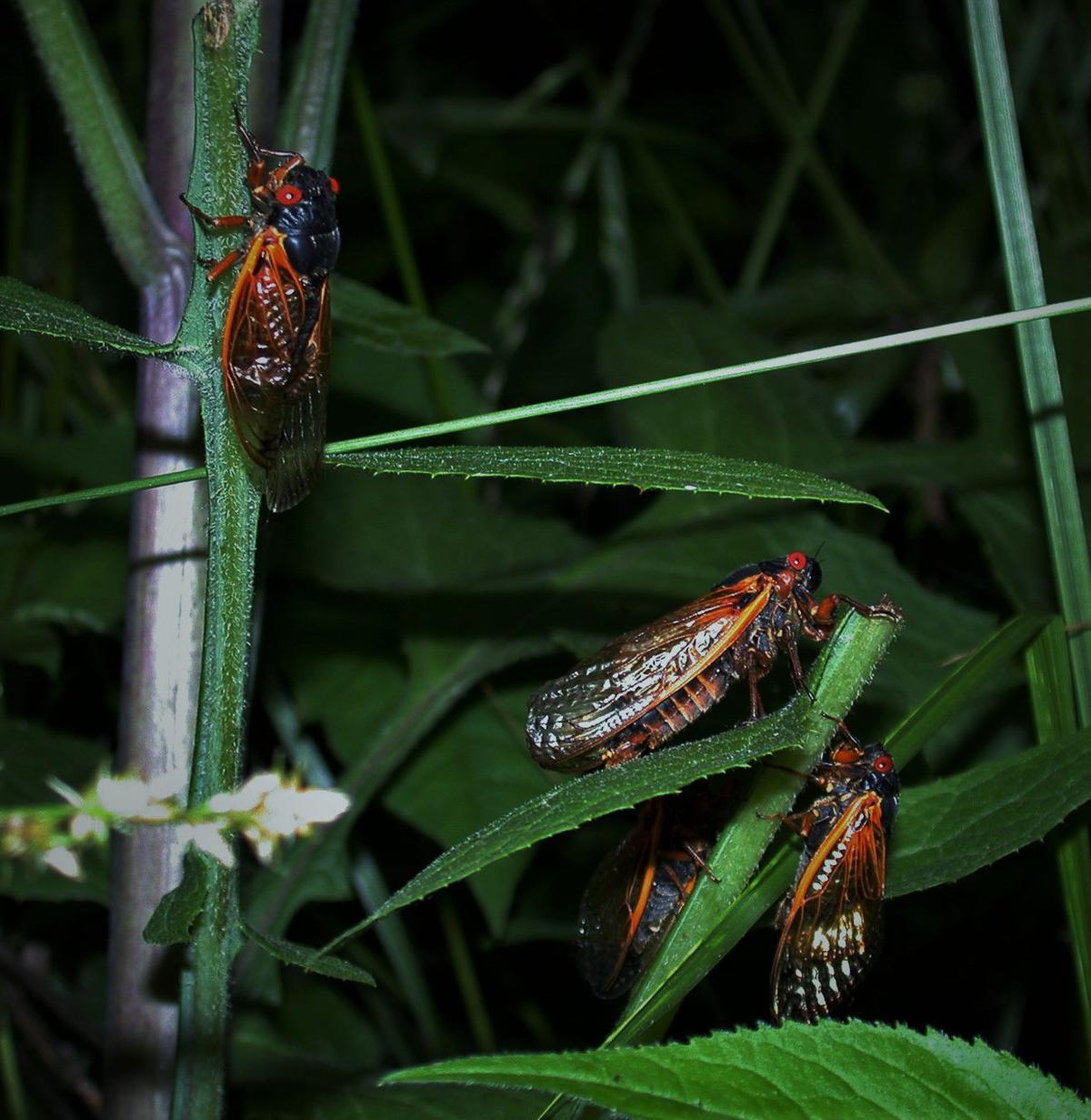 Cicada vert