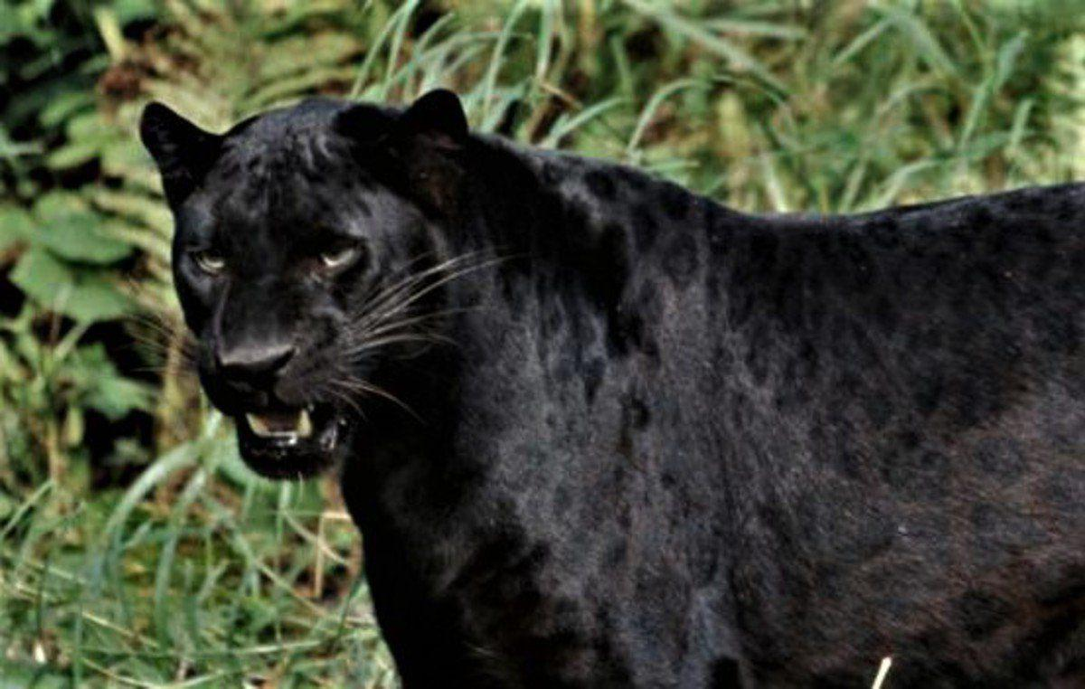 Black panthers, or not? Logic suggests mistaken identity covers many reports