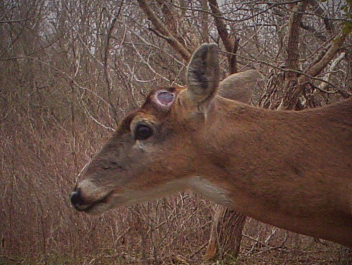 Boneheads bared Before new antlers, bucks must go without