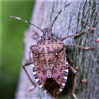 Autumn arrivals: No worries, but Asian stink bugs, lady beetles on the way