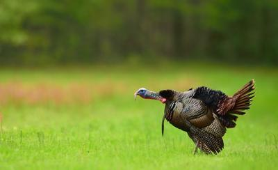 Turkey a gobblin'