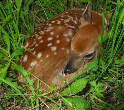 Re-populating: Fawning season sending deer numbers soaring | Local Sports |  paducahsun.com