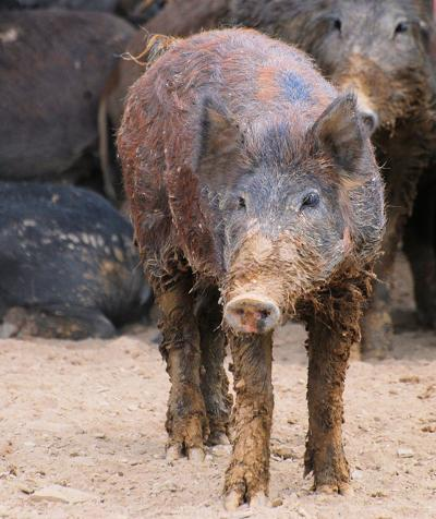 'Explosion' of feral swine may call for aggressive measures
